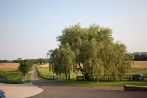The willow tree at Crockwell.